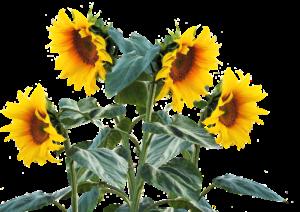 sunflower-2548875_1920
